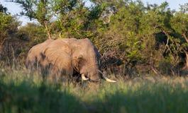 AFRIKANISCHER ELEFANT SÜDAFRIKA lizenzfreie stockfotos