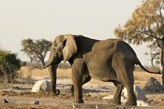 Afrikanischer Elefant in Savute Lizenzfreie Stockfotos