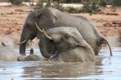 Afrikanischer Elefant-Spaß lizenzfreies stockfoto