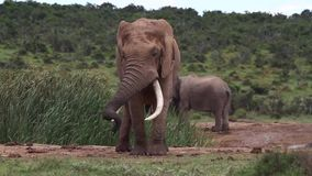 Afrikanischer Elefant Stier in Musth stock video