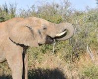 Afrikanischer Elefant-Trinkwasser Lizenzfreies Stockfoto