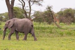 Afrikanischer Elefant und eine Giraffe im Serengeti stockfotos