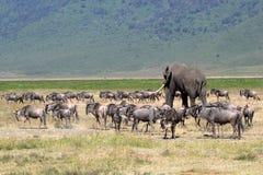 Afrikanischer Elefant und Herde des Gnus Stockfotos