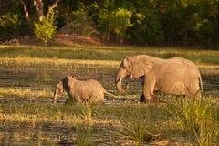 Afrikanischer Elefant und jugendliches Kreuz ein Fluss Lizenzfreies Stockbild