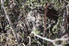 Afrikanischer Elefant-Verstecken Lizenzfreies Stockfoto