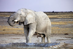 Afrikanischer Elefant vom schmutzigen weißen Lehm am waterhole, Nationalpark Etosha, Namibia Stockbild