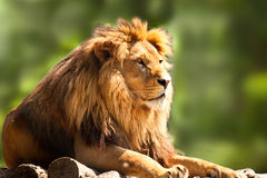 Afrikanischer entspannender Löwe Stockfotos