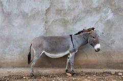 Afrikanischer Esel Lizenzfreies Stockbild