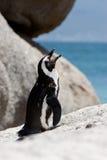 Afrikanischer (Esel-) Pinguin auf Fluss-Stein Lizenzfreie Stockbilder