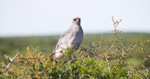 Afrikanischer Falke Lizenzfreies Stockbild