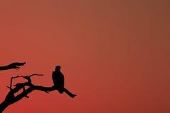 Afrikanischer Fisch-Adler Stockfoto
