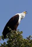 Afrikanischer Fisch-Adler Lizenzfreie Stockbilder