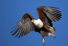 Afrikanischer Fisch-Adler Stockbilder