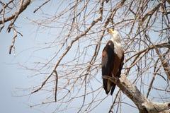 Afrikanischer Fisch-Adler Stockfotografie
