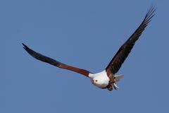 Afrikanischer Fisch-Adler Lizenzfreies Stockfoto