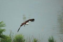 Afrikanischer Fisch-Adler Stockfotos