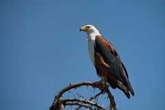 Afrikanischer Fisch-Adler Lizenzfreie Stockfotos