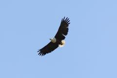 Afrikanischer Fisch-Adler Lizenzfreies Stockbild