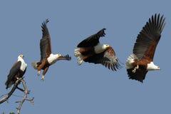 Afrikanischer Fisch-Adler - Botswana Stockbilder