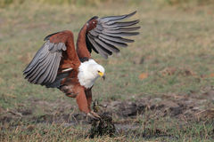 Afrikanischer Fisch-Adler, der einen Fisch abfängt Lizenzfreie Stockfotos