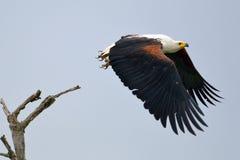 Afrikanischer Fisch-Adler (Haliaeetus vocifer) Lizenzfreies Stockfoto