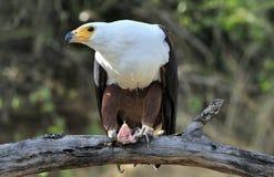 Afrikanischer Fisch-Adler; Haliaeetus Vocifer; Südafrika Stockbild