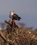 Afrikanischer Fisch-Adler mit Opfer Stockfotografie