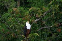 Afrikanischer Fisch-Adler in Uganda, Afrika Lizenzfreie Stockbilder