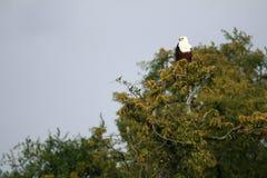 Afrikanischer Fisch-Adler in Uganda, Afrika Stockbilder