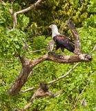 Afrikanischer Fisch-Adler und Pavian Stockbild
