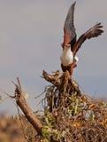 Afrikanischer Fisch-Adlerstart Stockfotos