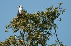 Afrikanischer Fischadler stockfotos