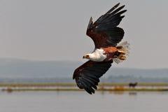 Afrikanischer Fischadler fliegt über den See Stockfotos