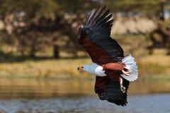 Afrikanischer Fischadler fliegt über den See Stockfoto