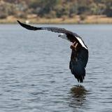 Afrikanischer Fischadler fliegt über den See Lizenzfreie Stockfotos