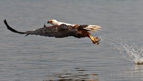 Afrikanischer Fischadler hebt die Fische aus Wasser heraus auf Stockbild