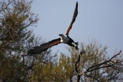 Afrikanischer Fischadler im Flug Stockfoto