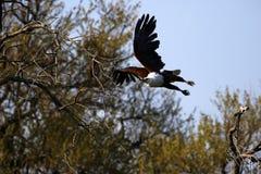 Afrikanischer Fischadler im Flug Lizenzfreies Stockfoto