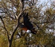 Afrikanischer Fischadler im Flug Lizenzfreie Stockfotos