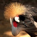 Afrikanischer gekrönter Kran Stockbild