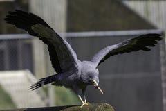 Afrikanischer Geländeläufer-Falke, der Fleisch isst Stockbilder