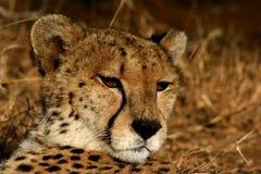 Afrikanischer Gepard lizenzfreie stockfotos