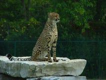 Afrikanischer Gepard, der auf einer Felsenleiste sitzt Stockfotografie
