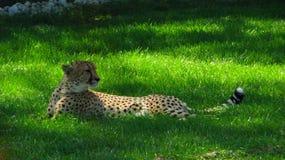 Afrikanischer Gepard, der im kühlen Gras sitzt Stockbilder