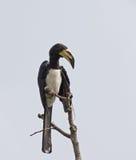 Afrikanischer gescheckter Hornbill Lizenzfreie Stockfotos