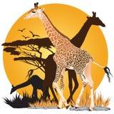 Afrikanischer Giraffen-Sonnenuntergang Stockfotos