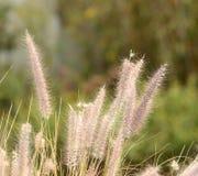 Afrikanischer Gras Pennisetum Stockfoto