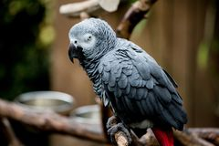 Afrikanischer grauer Papagei an Bloedel-Konservatorium lizenzfreie stockfotos