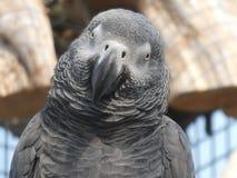 Afrikanischer grauer Papagei, der heraus dem Tag und dem Lächeln betrachtet lizenzfreies stockfoto