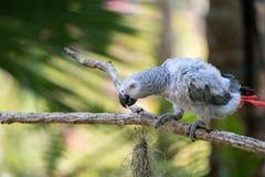 Afrikanischer grauer Papagei des Babys mit rotem Endstückfall an zur Niederlassung im Wald stockfoto